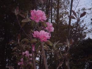 林檎咲いた