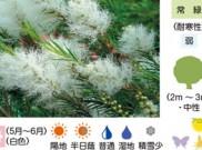 メディカルティーツリー 暮らしに役立つ植物たち④