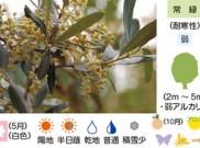 オリーブ 暮らしに役立つ植物たち⑤