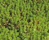 きめが細かい葉のモリムラマンネングサ 緑のマットにお勧め植物②