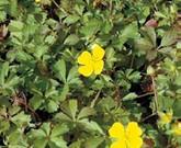 耐寒性のあるポテンティラ・ベルナ 緑のマットにお勧め植物③
