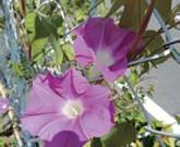 アサガオ・リュウキュウアサガオ 緑のカーテンにお勧めの植物②