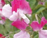 スイトピー、アブチロン・メガポタミクム 緑のカーテンにお勧めの植物④