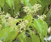 クスノキ 防虫・病気予防・忌避効果のある植物のお勧め①