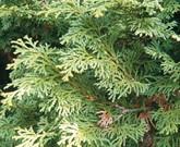 ヒノキ・ゲッケイジュ 防虫・病気予防・忌避効果のある植物のお勧め②