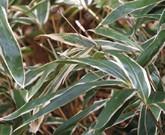 クマザサ・ドクダミ・ナンテン 防虫・病気予防・忌避効果のある植物のお勧め③